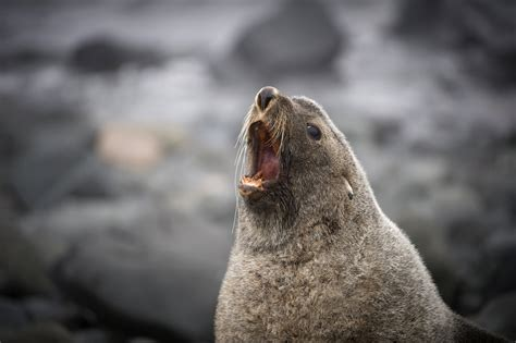 Strange but true: Seals found sexually assaulting penguins