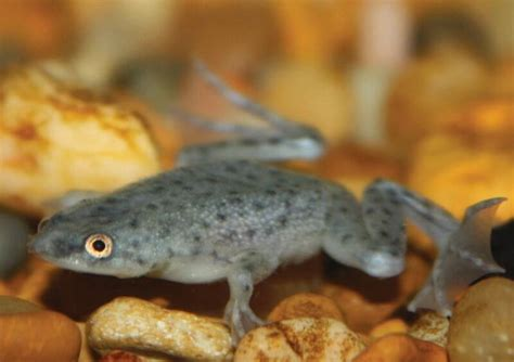 African Dwarf Frog Facts, Information, Hd pictures and all