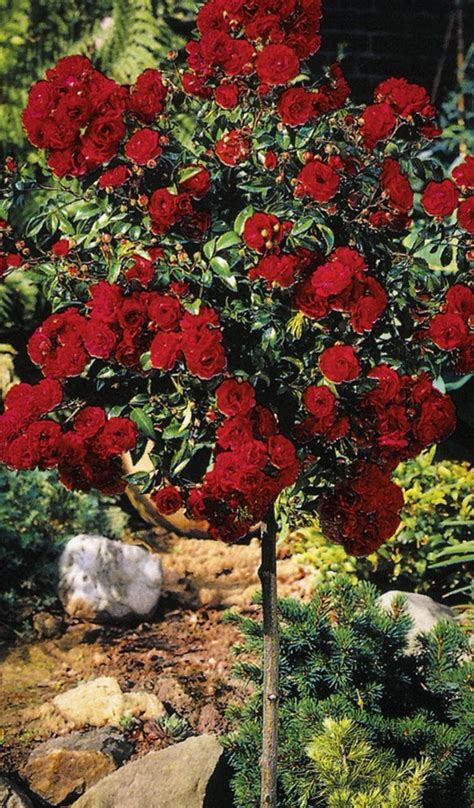 Knockout Rose Tree For Sale Online | The Tree Center