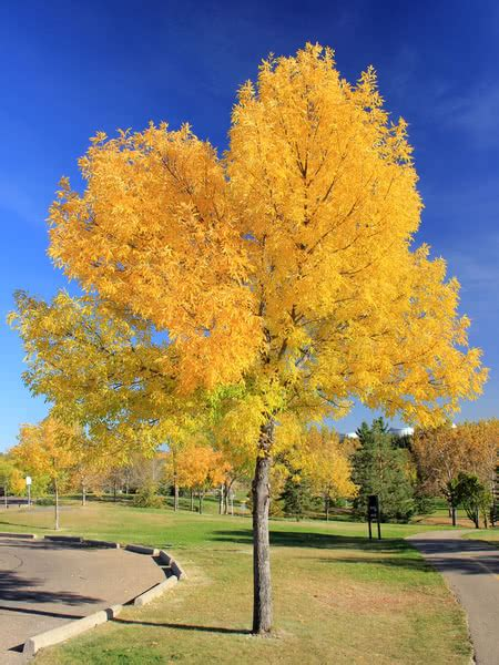 Green Ash for Sale - TreeTime