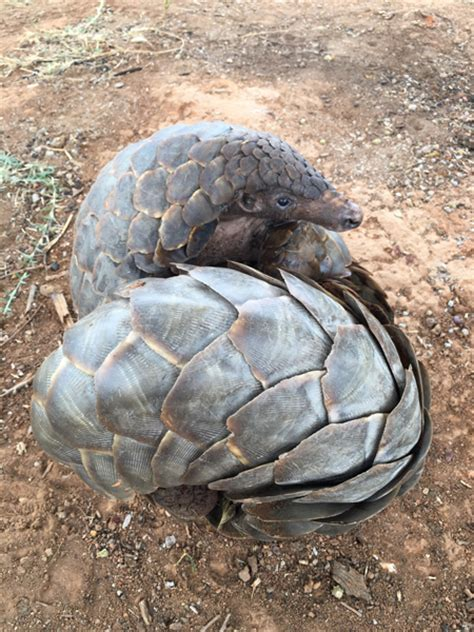 Six pangolins rescued in Zambia - Africa Geographic