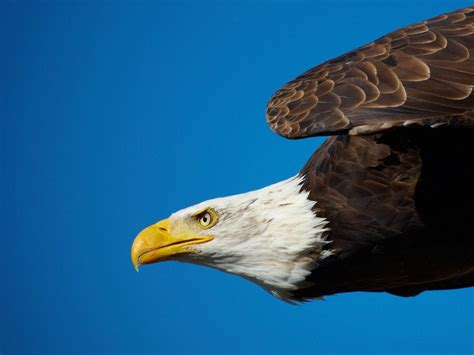 TIL that bald eagles are called so because of the old